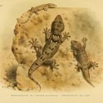 Mauergecko (Tarentola mauritanica) - Nordafrikanischer Mauergecko (Tarentola annularis)