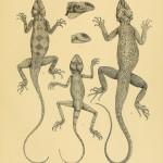 Agama sinaita und Agama spinosa, Sinai Agame und Wüstenagame