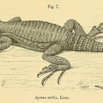 Hardun (Laudakia stellio; Syn.: Agama stellio), auch Schleuderschwanz genannt