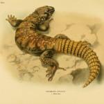 Bunte Dornschwanzagame (uromastyx ornata)