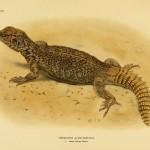 nordafrikanische Dornschwanzagame (Uromastyx acanthinura)