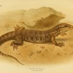 Steppenwaran - Varanus Ocellatus