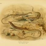Afrikanische Langschwanzeidechse - Latastia longicaudata
