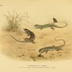 Gefleckte Fransenfingereidechse (Acanthodactylus pardalis)
