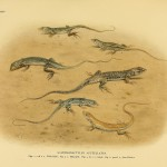 Fransenfinger (Acanthodactylus scutellatus)