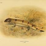 Nachtskink (Scincopus fasciatus)
