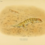 Wühlechse, der Skink (Scincus officinalis)