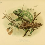 Chamäleon (Chamaeleon vulgaris)