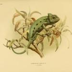 Basiliskenchamäleon (Chamaeleo africanus, chamaeleo basiliscus)