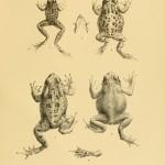 Maskarenenfrosch Rana mascariensis und verschiedene Kröten