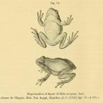 Mittelöstlicher oder Kleinasiatische Laubfrosch