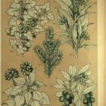 Weißdorn/Rotdorn/Hagedorn - Eibe - Efeu - Erdbeerbaum