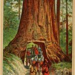 "Beauties of California - Big Tree ""Wawona"""