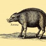Wildschwein (Iavaris)