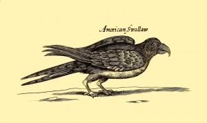 American Swallow - Amerikanische Schwalbe