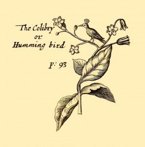 Kolibri - Colibri or Humming-Bird