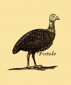 Pintado - Land-Fowl