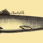 Hai - Sharkfish