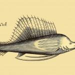 See-Hahn - Sea Cock