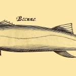 Becune - Barrakuda