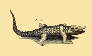 Krokodil - Kaiman