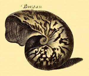 Nautilus - Perlboote - Burgau
