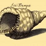 Sea-Trumpet - Meeresschnecke - Schneckenhorn