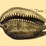 Venus-Muschel / Venus-Shell