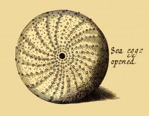 Seeigel - Sea egge