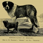 Bernhardiner - Rough-Coated St. Bernard
