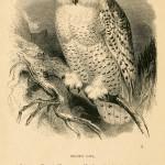 Snowy Owl - Schneeeule