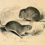 Field Vole - Erdmaus