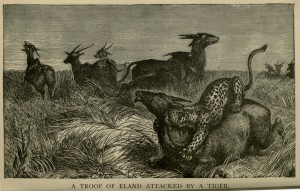 A Troop of Eland Attacked by a Tiger