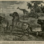 Giraffe, Zebra and Cape Buffalo of Africa