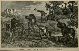 Giraffe, Zebra and Cape Buffalo of Africa