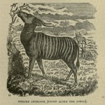 Striped Antelope (Found Along the Congo)