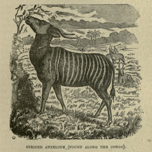 Striped Antelope (Found Along the Congo)