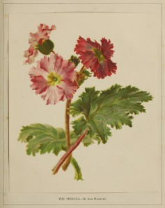 The Primula