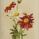 Pyrethrum red and white