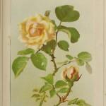 "Yellow Rose ""Gloire de Dijon"""