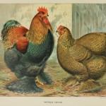 Partridge Cochins