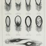 Wyandotte Feathers