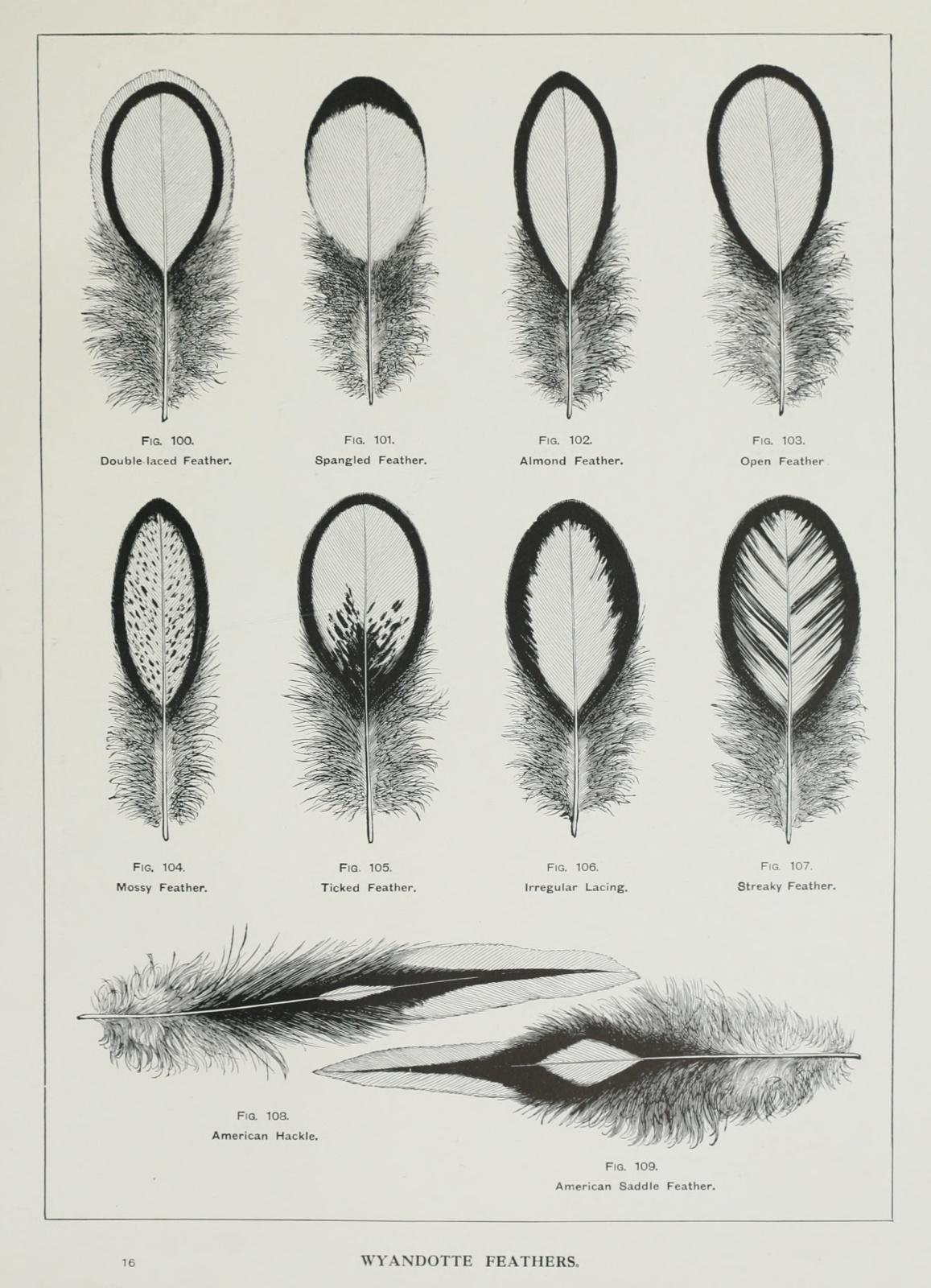 wrightsbookofpou00wrig orig 0399 wyandottes feathers. Black Bedroom Furniture Sets. Home Design Ideas