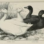 Aylesbury Ducks. Cayuga Ducks.