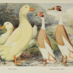 Pekin Ducks. Indian Runner Ducks.