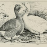 Geese - Toulouse - Embden