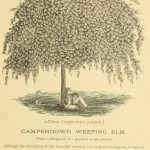 Camperdown Weeping Elm