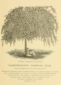 Camperdown Weeping Elm