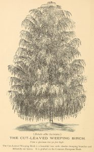 The Cut-Leaved Weeping Birch