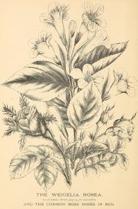 The Weigelia Rosea